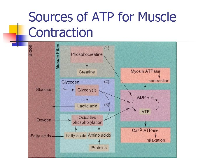Sources of ATP for Muscle Contraction