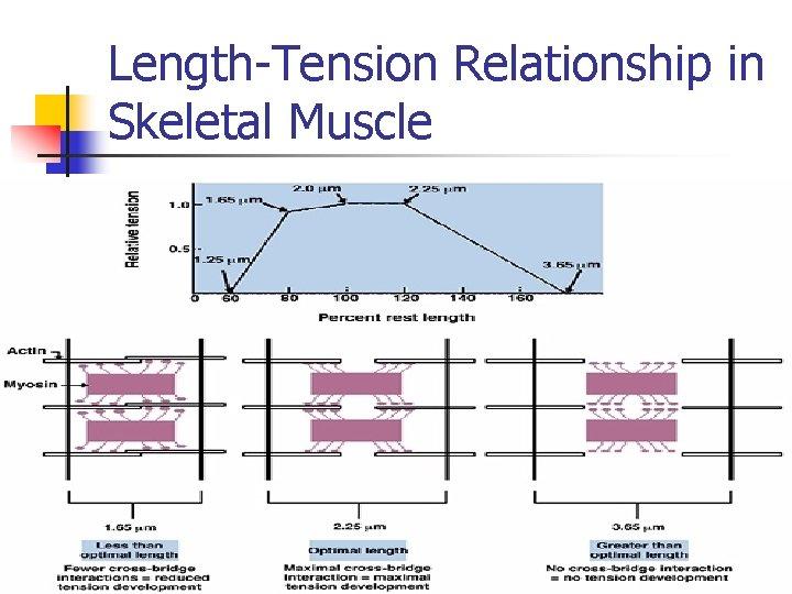 Length-Tension Relationship in Skeletal Muscle