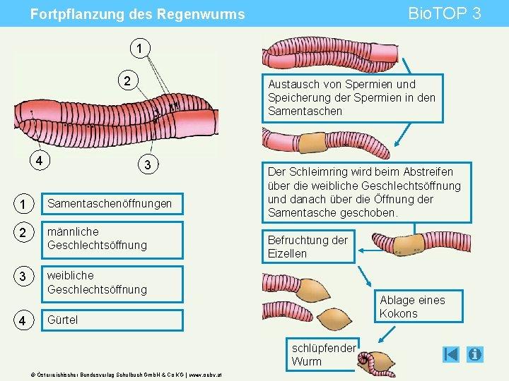 Bio. TOP 3 Fortpflanzung des Regenwurms 1 2 4 Austausch von Spermien und Speicherung