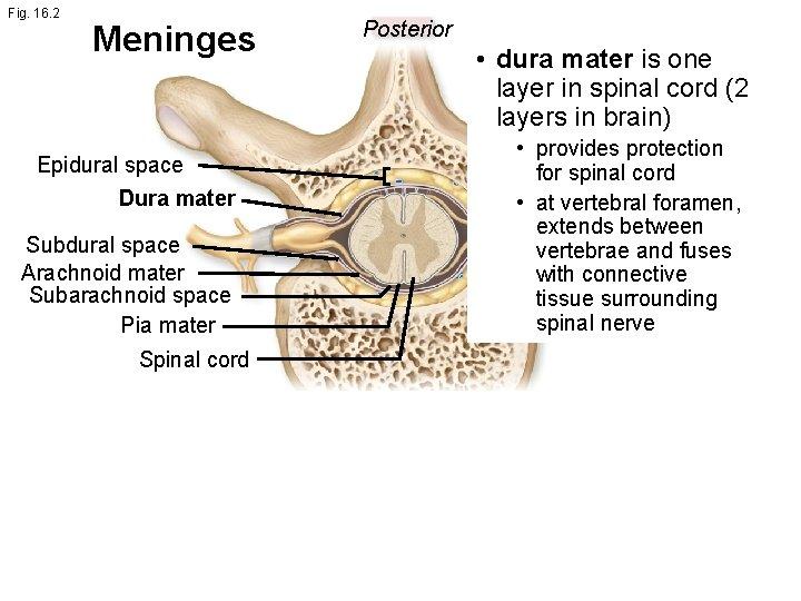 Fig. 16. 2 Meninges Epidural space Dura mater Subdural space Arachnoid mater Subarachnoid space