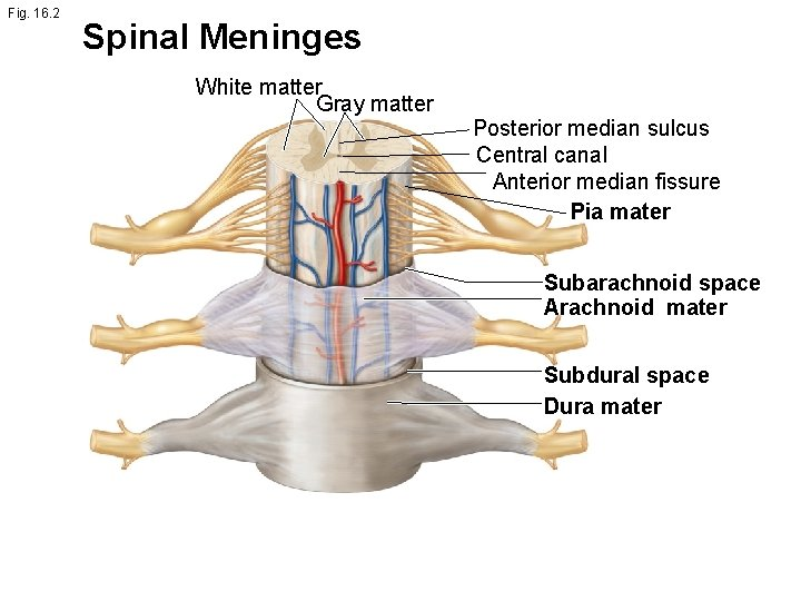 Fig. 16. 2 Spinal Meninges White matter Gray matter Posterior median sulcus Central canal
