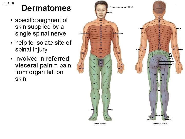 Fig. 16. 6 Dermatomes • specific segment of skin supplied by a single spinal
