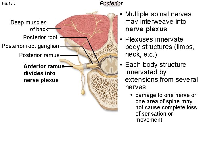 Posterior Fig. 16. 5 Deep muscles of back Posterior root ganglion Posterior ramus Anterior