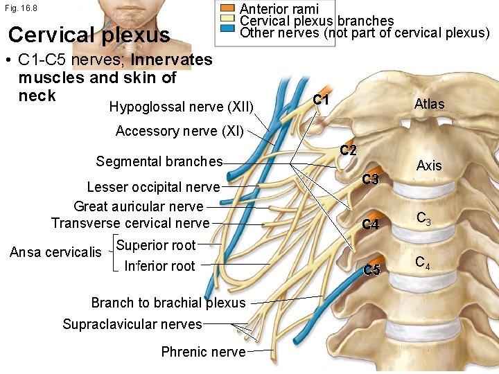 Fig. 16. 8 Cervical plexus Anterior rami Cervical plexus branches Other nerves (not part