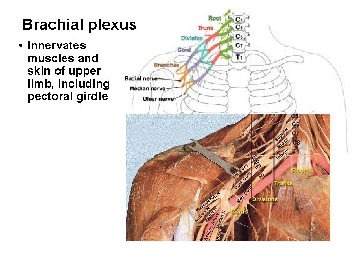 Brachial plexus • Innervates muscles and skin of upper limb, including pectoral girdle