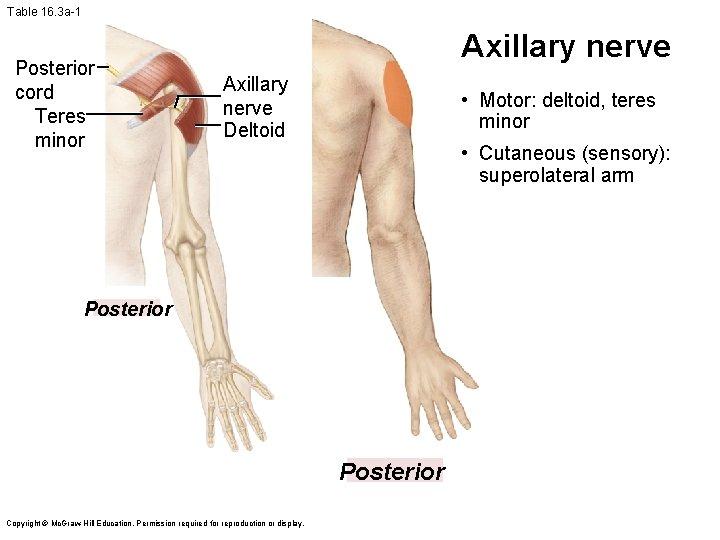Table 16. 3 a-1 Posterior cord Teres minor Axillary nerve Deltoid • Motor: deltoid,