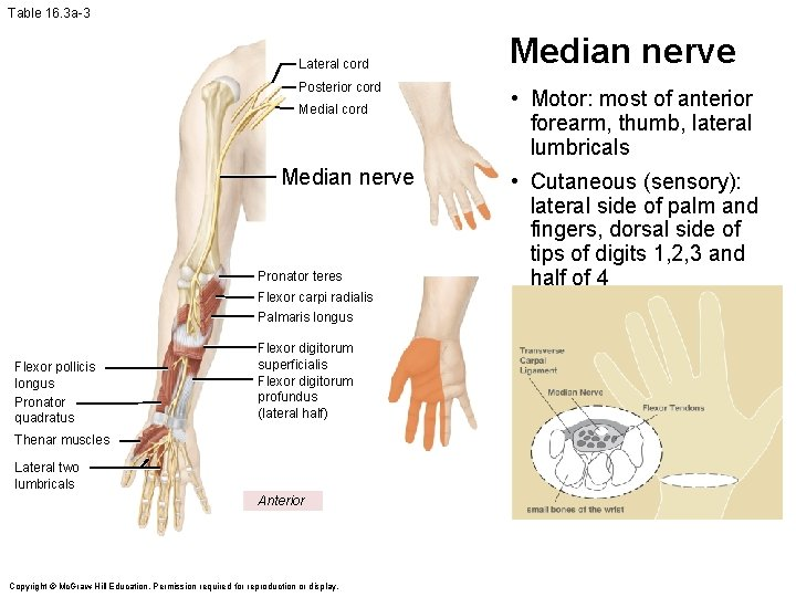 Table 16. 3 a-3 Lateral cord Posterior cord Medial cord Median nerve Pronator teres