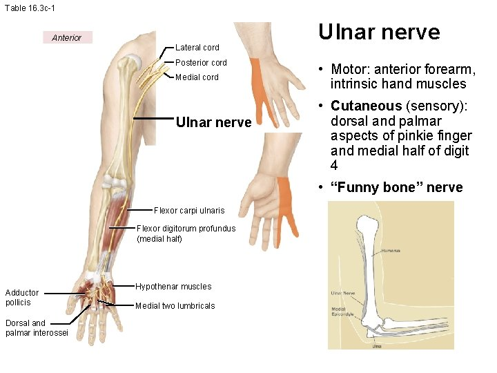 Table 16. 3 c-1 Anterior Lateral cord Posterior cord Medial cord Ulnar nerve •