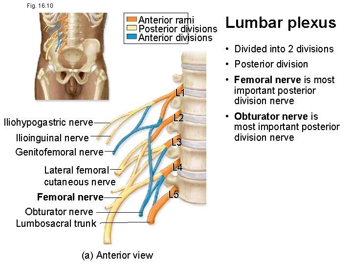 Fig. 16. 10 Anterior rami Posterior divisions Anterior divisions Lumbar plexus • Divided into