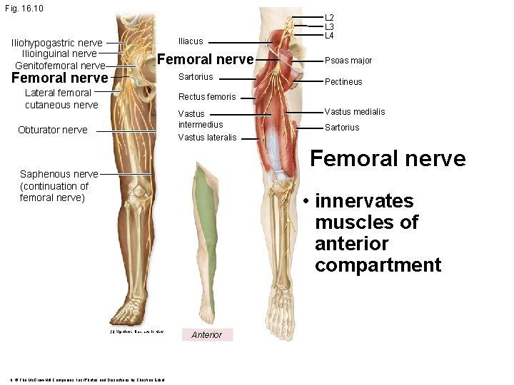 Fig. 16. 10 Iliohypogastric nerve Ilioinguinal nerve Genitofemoral nerve Iliacus Femoral nerve Sartorius Lateral