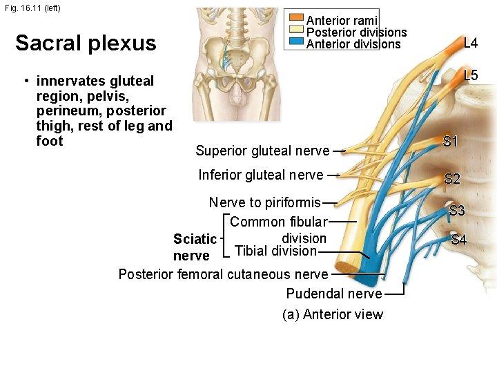 Fig. 16. 11 (left) Sacral plexus • innervates gluteal region, pelvis, perineum, posterior thigh,