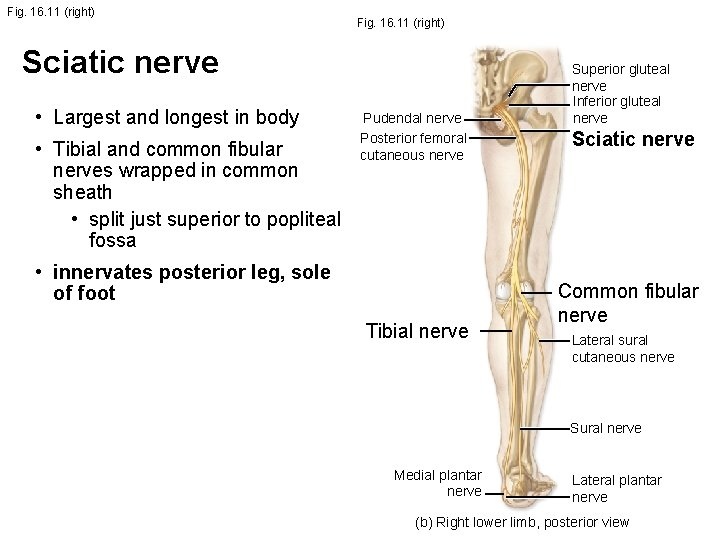 Fig. 16. 11 (right) Sciatic nerve • Largest and longest in body • Tibial