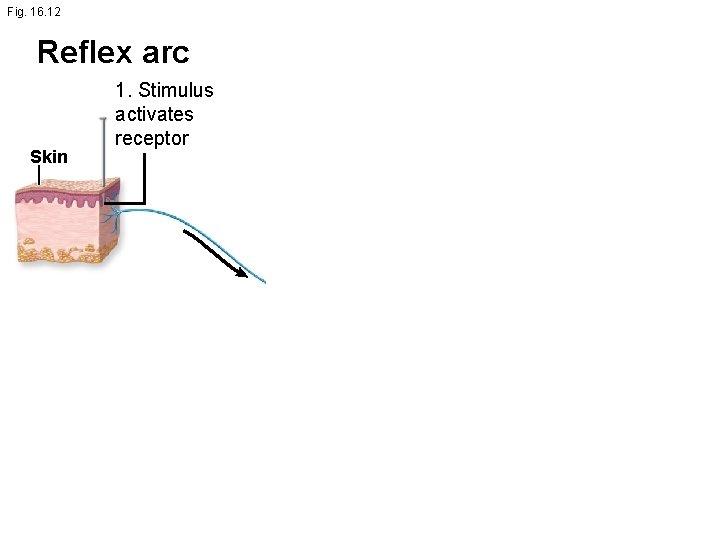 Fig. 16. 12 Reflex arc Skin 1. Stimulus activates receptor