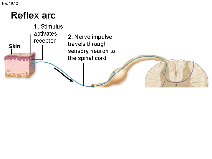 Fig. 16. 12 Reflex arc Skin 1. Stimulus activates 2. Nerve impulse receptor travels
