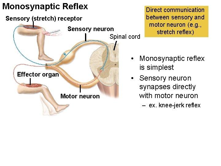 Monosynaptic Reflex Sensory (stretch) receptor Sensory neuron Spinal cord Effector organ Motor neuron Direct