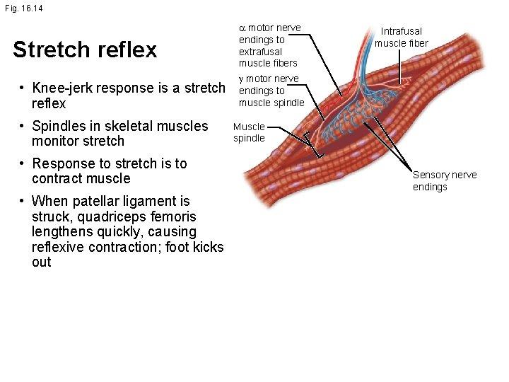 Fig. 16. 14 Stretch reflex • Knee-jerk response is a stretch reflex • Spindles