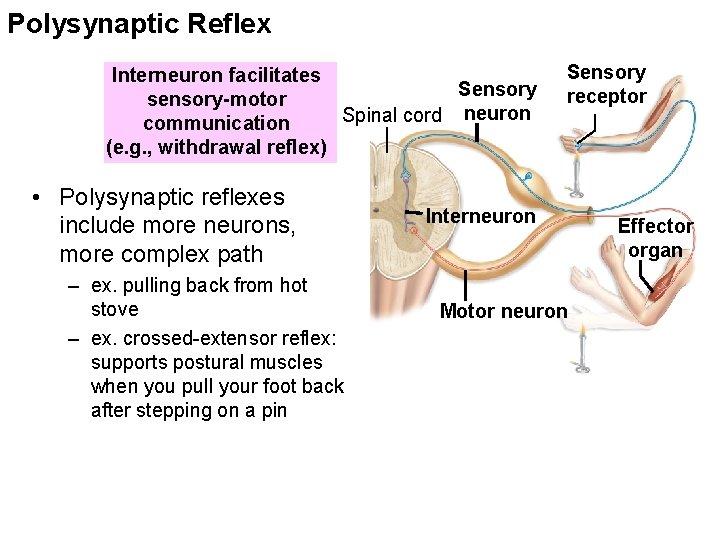 Polysynaptic Reflex Interneuron facilitates Sensory sensory-motor Spinal cord neuron communication (e. g. , withdrawal
