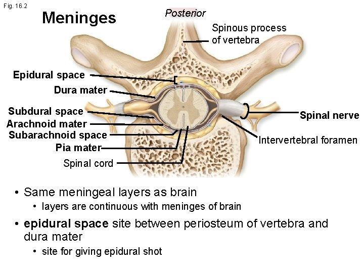Fig. 16. 2 Meninges Posterior Spinous process of vertebra Epidural space Dura mater Subdural