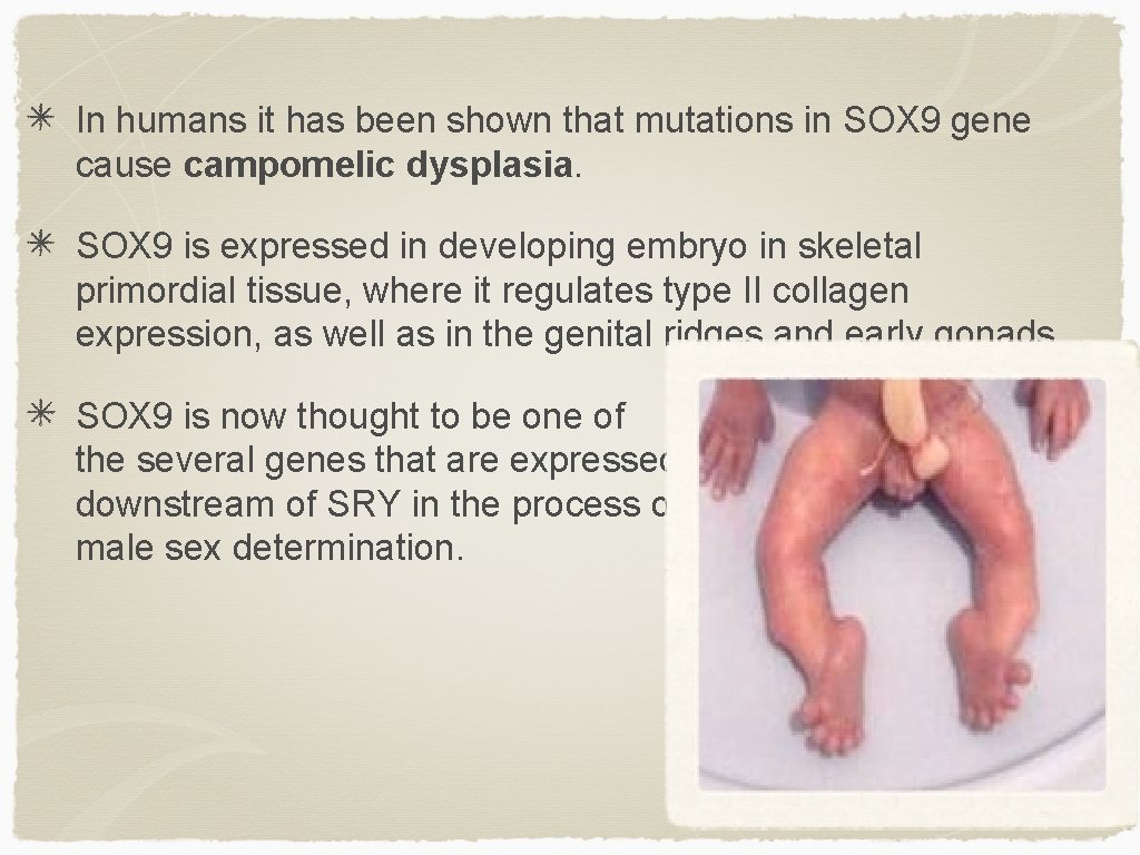 In humans it has been shown that mutations in SOX 9 gene cause campomelic