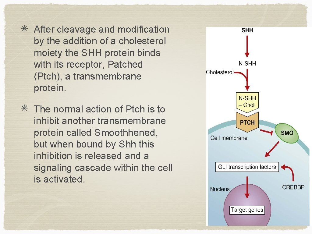 After cleavage and modification by the addition of a cholesterol moiety the SHH protein