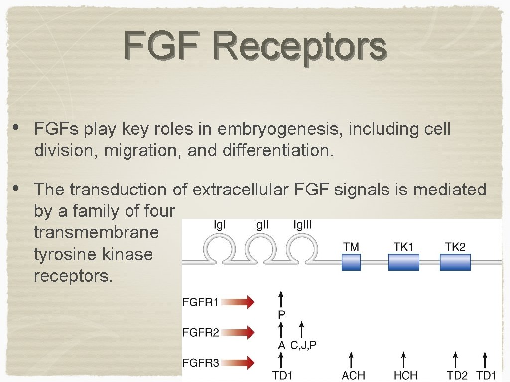 FGF Receptors • FGFs play key roles in embryogenesis, including cell division, migration, and