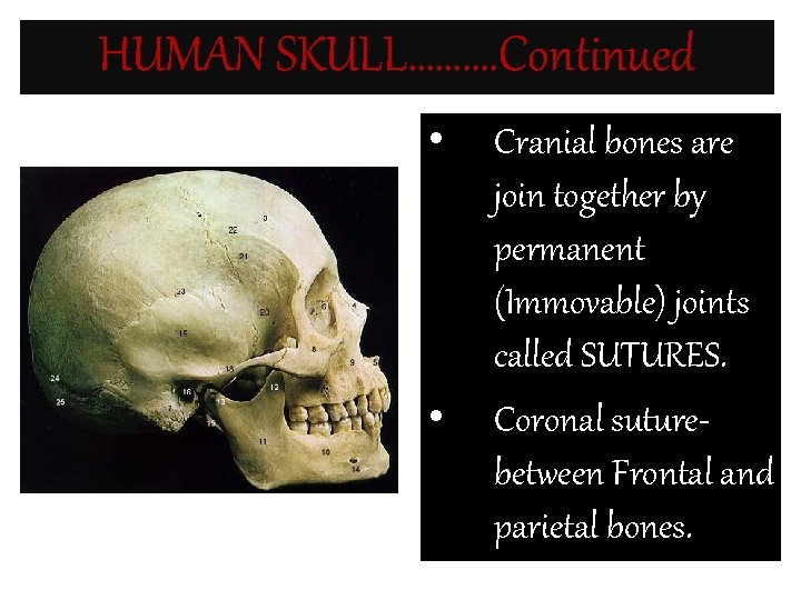 HUMAN SKULL………. Continued • • Cranial bones are join together by permanent (Immovable) joints