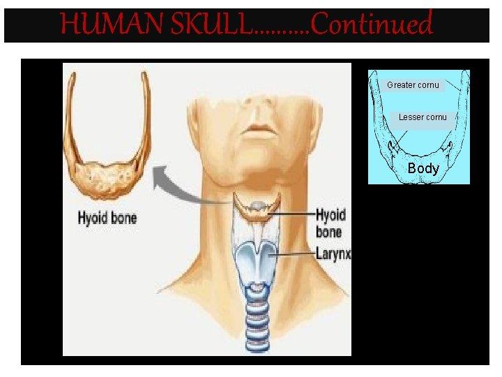 HUMAN SKULL………. Continued Greater cornu Lesser cornu Body • Fig. 7. 6 -2 :