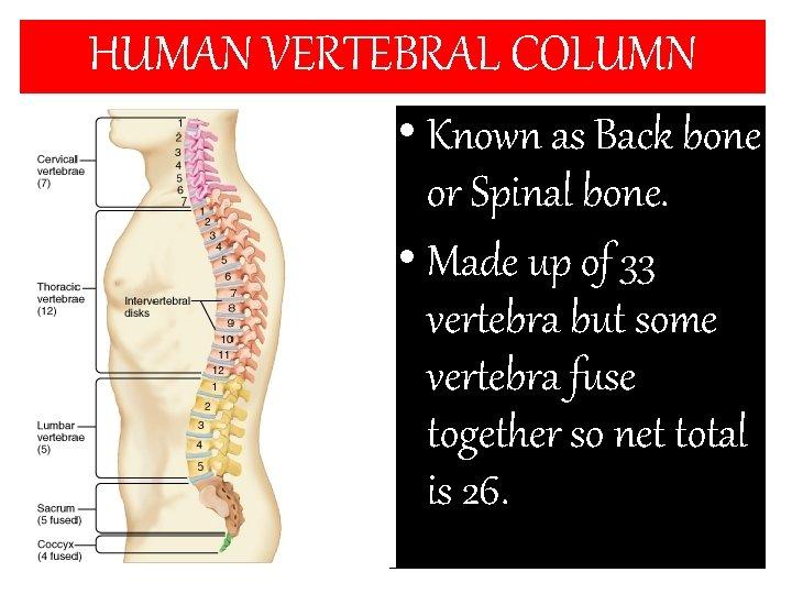 HUMAN VERTEBRAL COLUMN • Known as Back bone or Spinal bone. • Made up