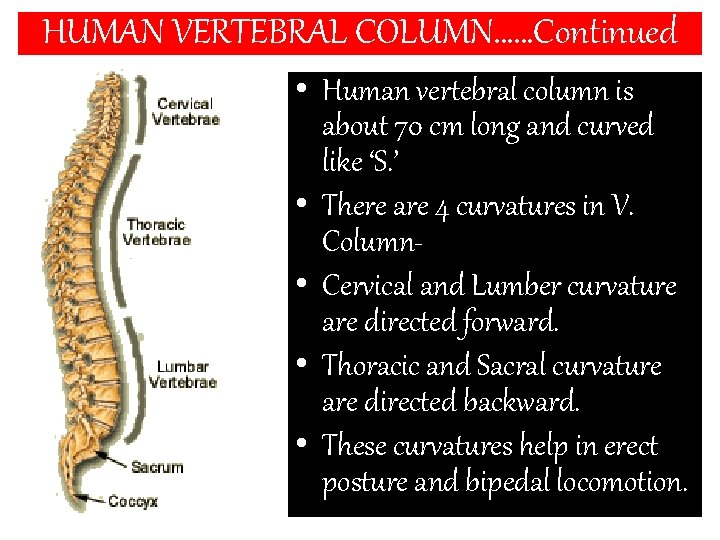 HUMAN VERTEBRAL COLUMN……Continued • Human vertebral column is about 70 cm long and curved