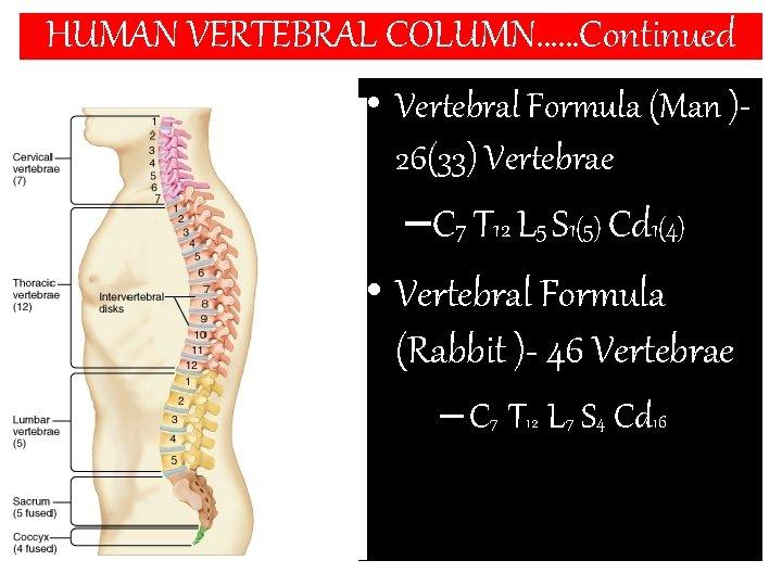 HUMAN VERTEBRAL COLUMN……Continued • Vertebral Formula (Man )26(33) Vertebrae –C 7 T 12 L