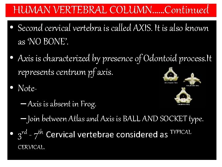 HUMAN VERTEBRAL COLUMN……Continued • Second cervical vertebra is called AXIS. It is also known