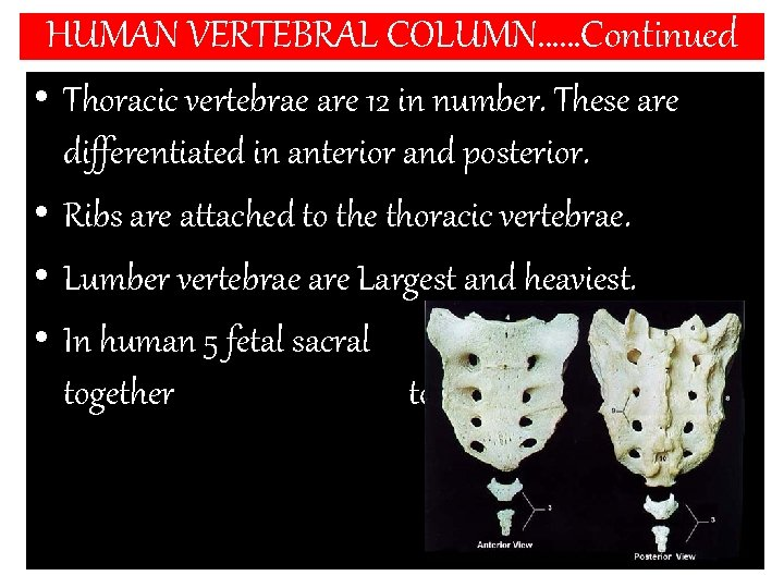 HUMAN VERTEBRAL COLUMN……Continued • Thoracic vertebrae are 12 in number. These are differentiated in
