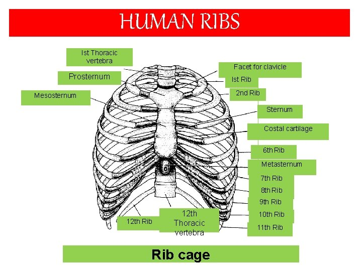 HUMAN RIBS Ist Thoracic vertebra Facet for clavicle Prosternum Ist Rib 2 nd Rib