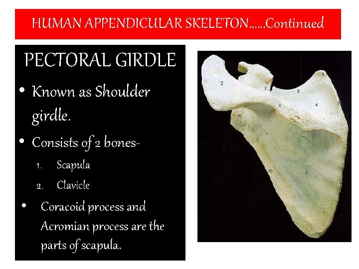 HUMAN APPENDICULAR SKELETON……Continued PECTORAL GIRDLE • Known as Shoulder girdle. • Consists of 2