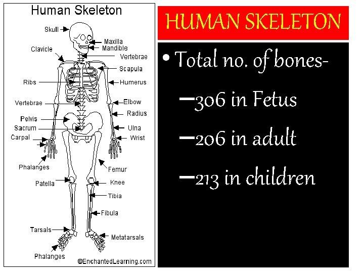 HUMAN SKELETON • Total no. of bones– 306 in Fetus – 206 in adult