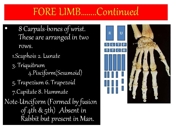 FORE LIMB……. . Continued • 8 Carpals-bones of wrist. These arranged in two rows.