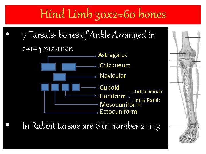 Hind Limb 30 x 2=60 bones • 7 Tarsals- bones of Ankle. Arranged in