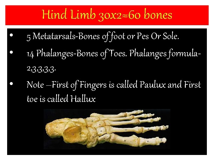 Hind Limb 30 x 2=60 bones • • • 5 Metatarsals-Bones of foot or