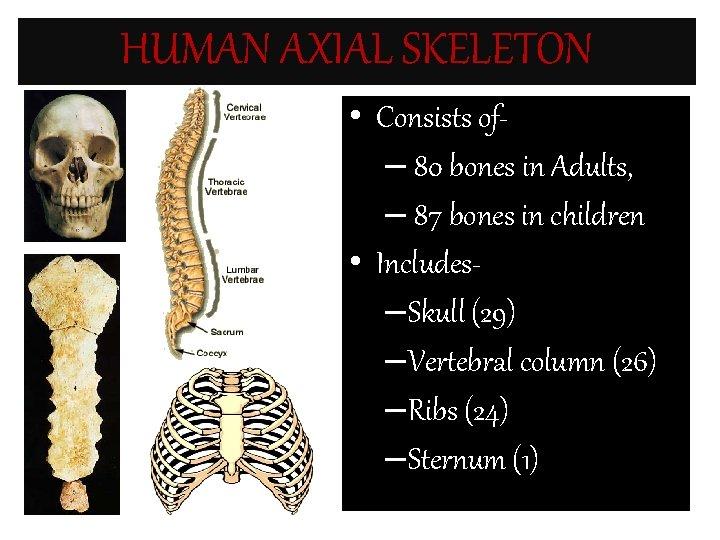 HUMAN AXIAL SKELETON • Consists of– 80 bones in Adults, – 87 bones in