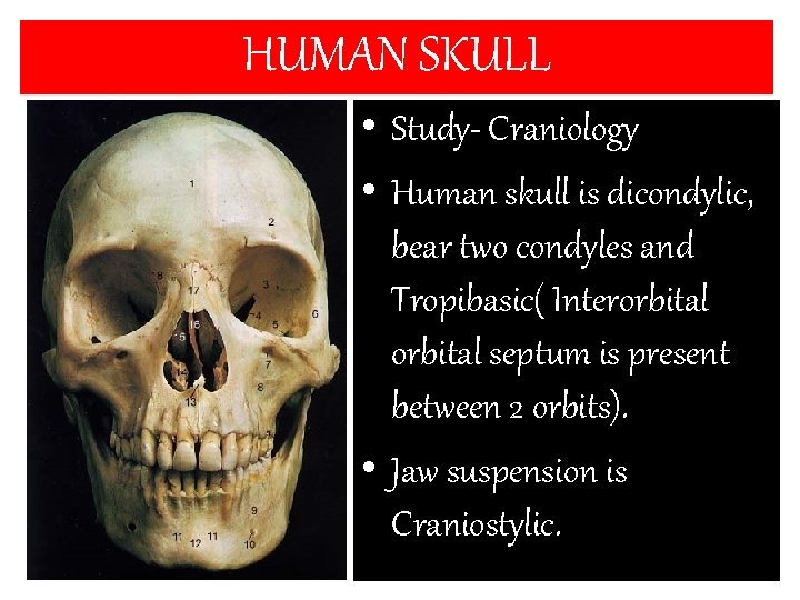 HUMAN SKULL • Study- Craniology • Human skull is dicondylic, bear two condyles and