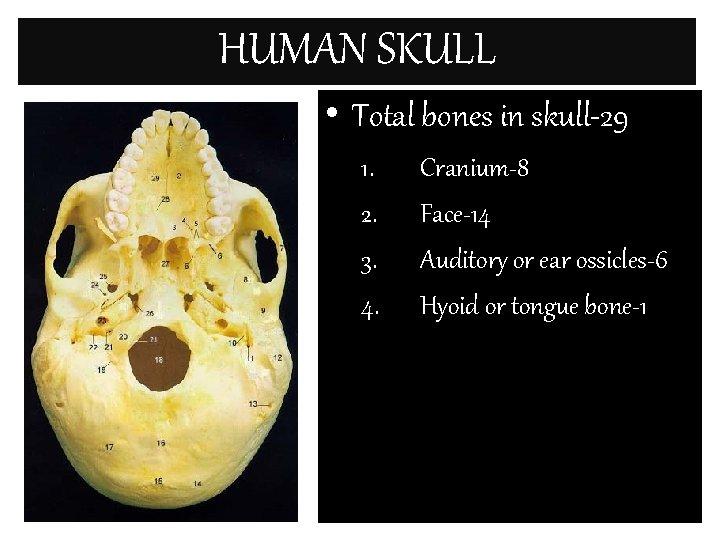 HUMAN SKULL • Total bones in skull-29 1. 2. 3. 4. Cranium-8 Face-14 Auditory