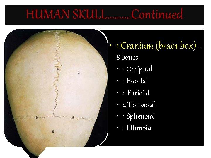 HUMAN SKULL………. Continued • 1. Cranium (brain box) 8 bones • 1 Occipital •