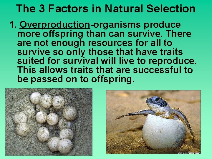 The 3 Factors in Natural Selection 1. Overproduction-organisms produce more offspring than can survive.