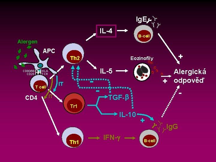 Ig. E IL-4 B-cell Alergen APC Th 2 CD 80/86 CD 28 HLA TCR
