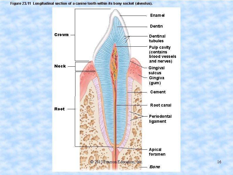 Figure 23. 11 Longitudinal section of a canine tooth within its bony socket (alveolus).