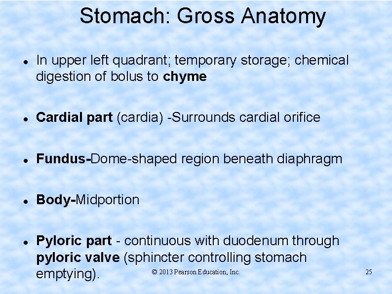 Stomach: Gross Anatomy In upper left quadrant; temporary storage; chemical digestion of bolus to