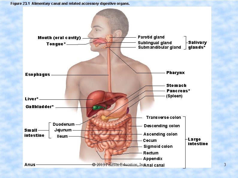 Figure 23. 1 Alimentary canal and related accessory digestive organs. Mouth (oral cavity) Tongue*