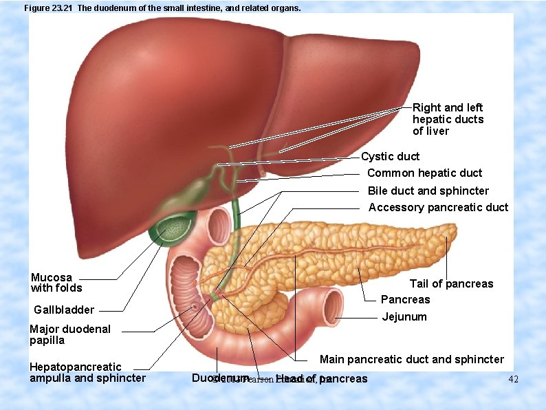 Figure 23. 21 The duodenum of the small intestine, and related organs. Right and