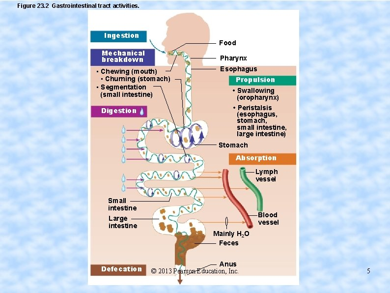 Figure 23. 2 Gastrointestinal tract activities. Ingestion Food Mechanical breakdown Pharynx • Chewing (mouth)