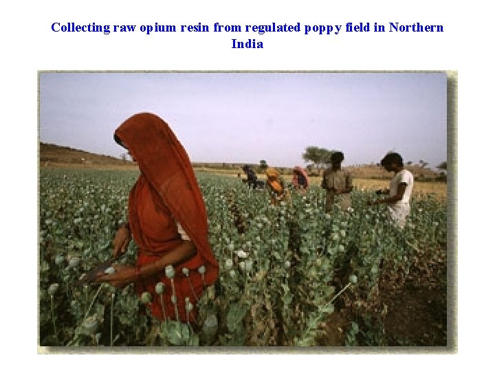 Collecting raw opium resin from regulated poppy field in Northern India